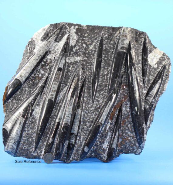 Large Orthoceras Fossil for sale