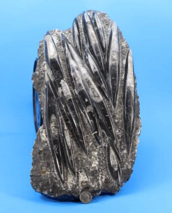 Orthoceras Fossil for sale